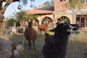 Auch Lama-Fleisch steht auf der Speisekarte der indigen Küche. Foto: Privat