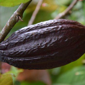 In ihrer Ursprungsform: die Kakaobohne. Foto: Privat