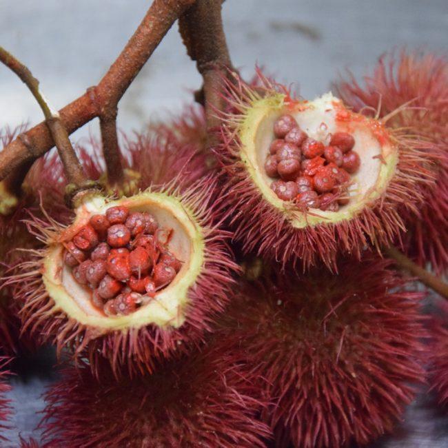 Exotisch: die Samen der Achiote. Foto: Privat