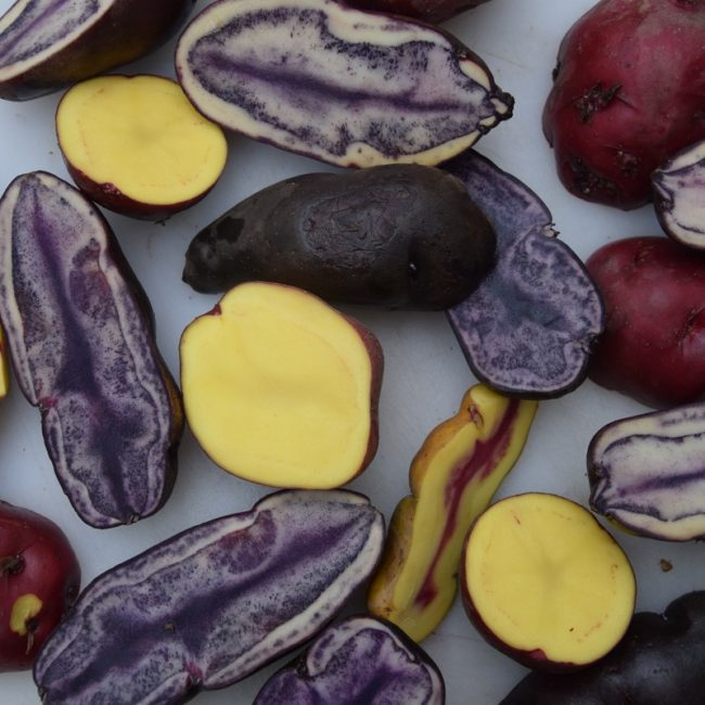 Kunterbunt: verschiedene Kartoffelsorten. Foto: Privat