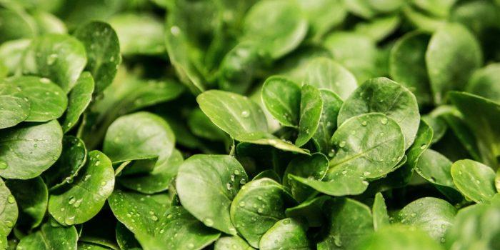 Märchenhafter Feldsalat